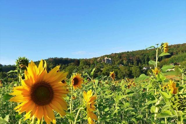 Sonnenblumen vor der Burgruine Landeck