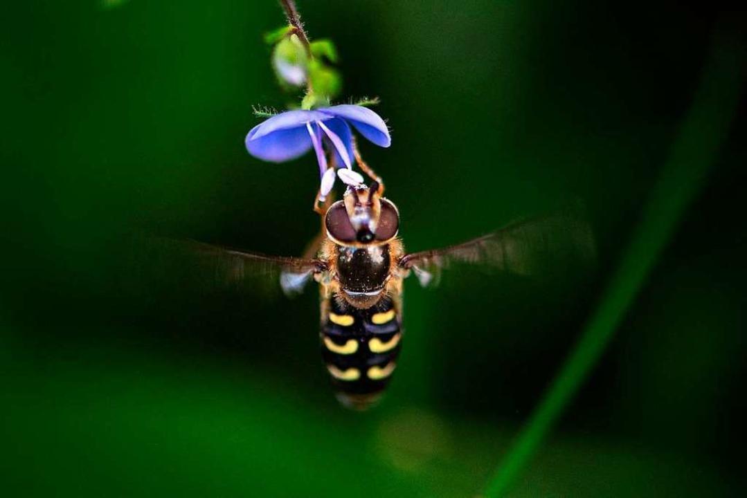Eine Schwebefliege  | Foto: Wolfgang Scheu