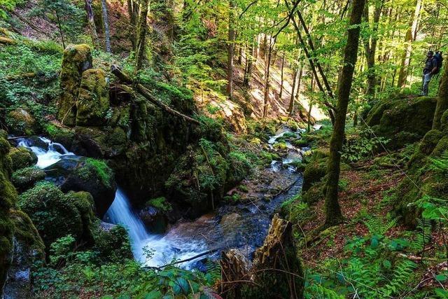Der Fernwanderweg Albsteig ist der Dschungelpfad im Hotzenwald