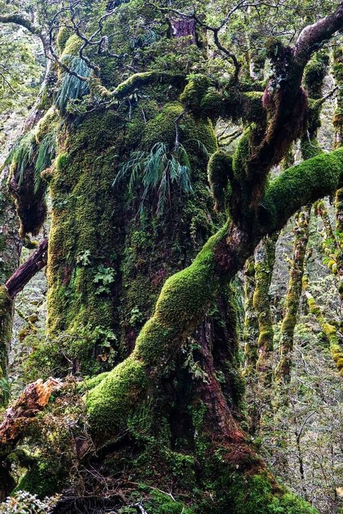 Zauberwald: Abstieg zur Iris Burn Hut    Foto: Florian Sanktjohanser (dpa)