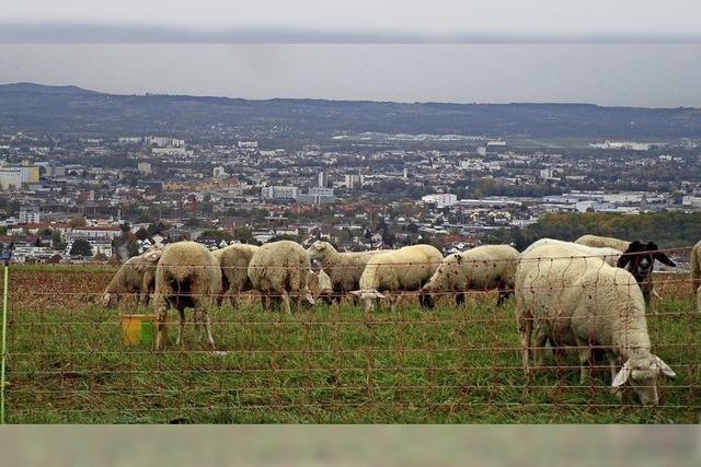 Wollige Saisongäste auf dem Tüllinger Berg über Weil am Rhein