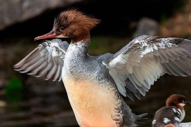 Vögeln fehlen in Markgräfler Rheinebene wegen intensiver Ackernutzung die Rückzugsräume