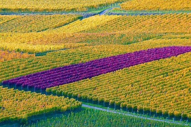 In den Reben am Kaiserstuhl explodieren die Farben