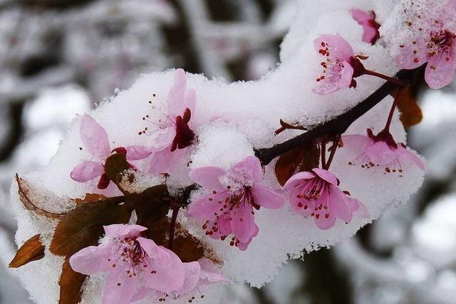 Schneeblüten in Endingen