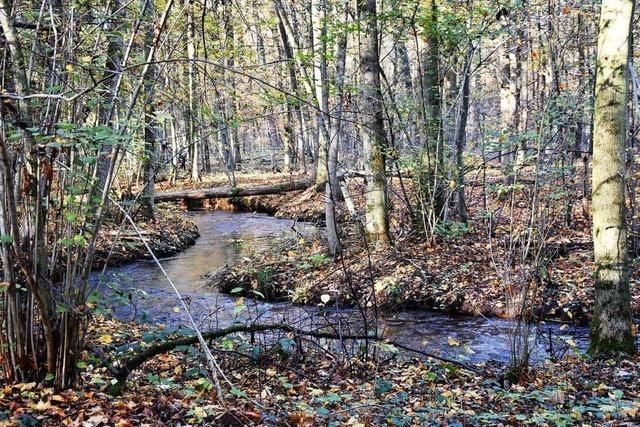 Pappeln und Eichen sollen abgestorbene Eschen im Vörstetter Wald ersetzen