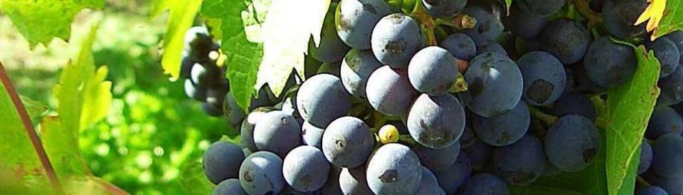Badischer Weinbauverband
