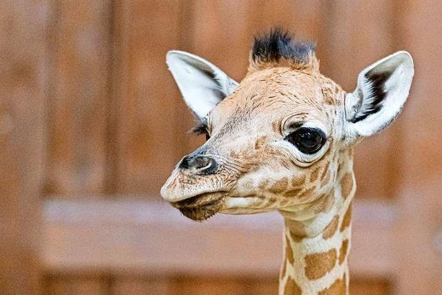Im Basler Zoo ist ein Giraffenbaby zur Welt gekommen