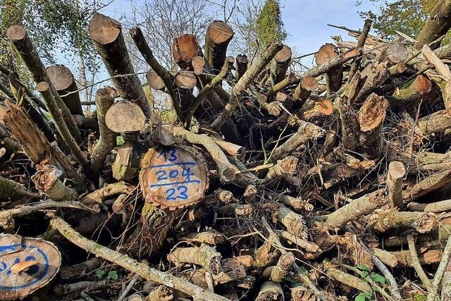 Bei Waldkindergärten werden Eschen gefällt