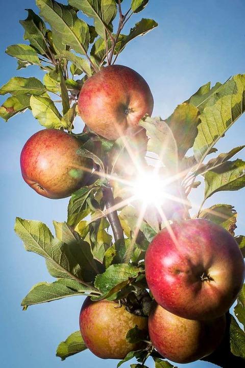 Der Vinschgau gilt als Apfelparadies.  | Foto: Frank Rumpenhorst