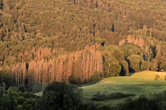 Käfer macht dem Wald zu schaffen