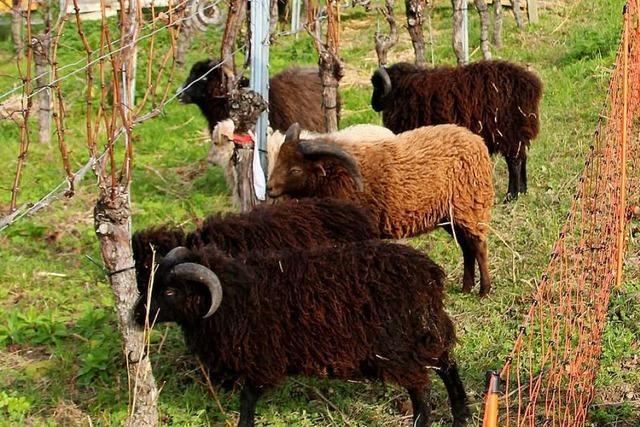In den Reben bei Istein sind Schafe als mobiles Mähkommando unterwegs