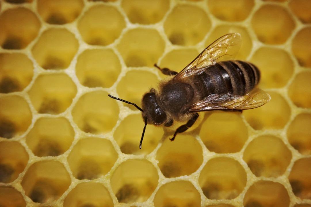 Was Bienen im Schwarzwage zuwege bring...Diplomatenkreisen gut an (Symbolbild).  | Foto: Fredrik von Erichsen