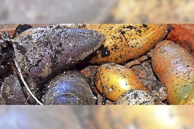 Alte Kartoffelsorten, erfolgreich im Pflanzkübel angebaut