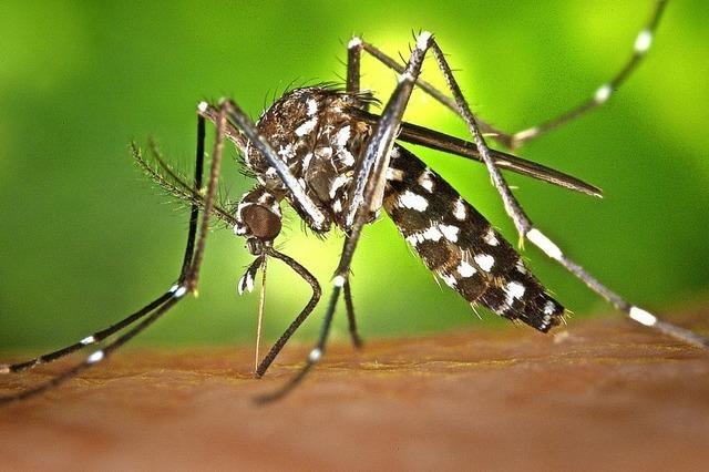 Tigermücke fühlt sich heimisch, kann sich aber nicht ausbreiten