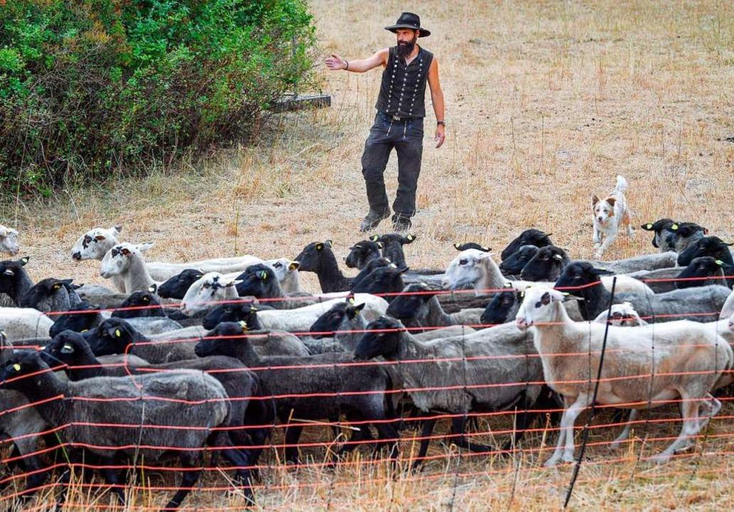 Ist verbesserter Zaunbau die Lösung, um Schafe vor dem Wolf zu schützen?   | Foto: Patrick Pleul