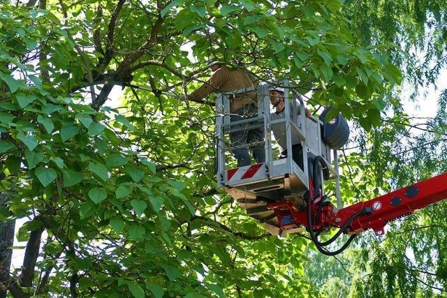 Bäume pflegen ist für die Weiler Grünplanung gar nicht so einfach