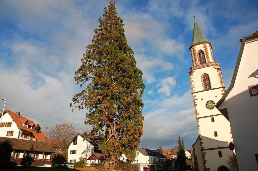 Noch ist es ein schlichter Mammutbaum.... er als XXL-Weihnachtsbaum erstrahlen.    Foto: Petra Wunderle