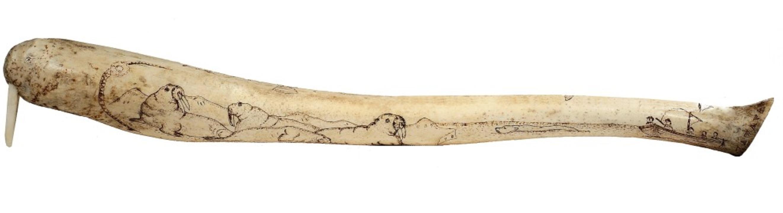 Er hat den längsten: Der Penisknochen ...osses wird um die 60 Zentimeter lang.   | Foto: Vladimir Melnik  (stock.adobe.com)