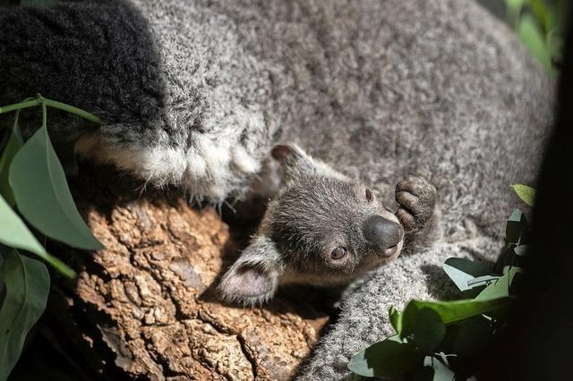 Koala-Baby zeigt sich im Zoo in Zürich