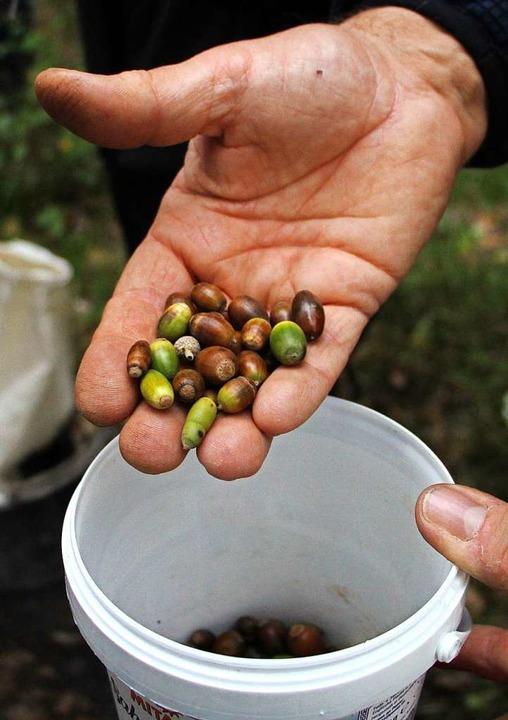 Aus diesen Eicheln sollen einmal junge Bäume werden.  | Foto: Herbert Trogus