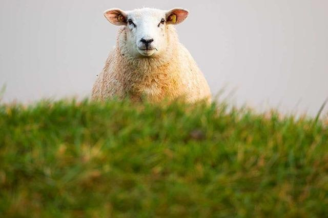 Schaf gerissen in Merzhausen