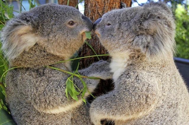 Der kleine Eukalyptus-Esser