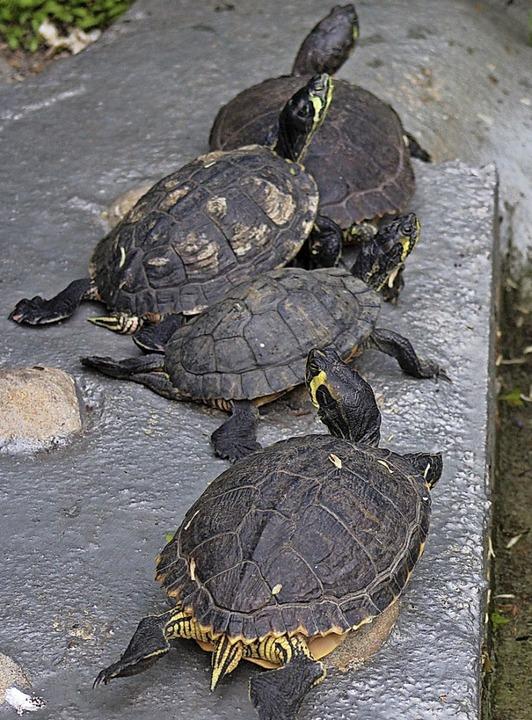 Die Schildkröten machen eine kleine Pause, bevor es wieder in den Teich geht.    Foto: Thomas Mann