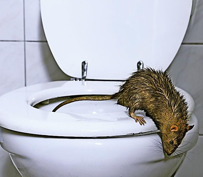 Eine Ratte kommt aus der Toilette &#8211; keine schöne Vorstellung<ppp></ppp>  | Foto: H.T. Kirk