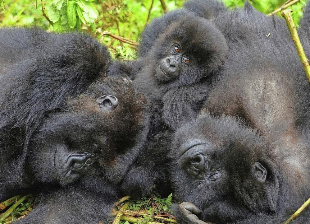 Hier wird gekuschelt! Gorillas sind ga.... Das entspricht zwei kleineren Autos.  | Foto: --- (dpa)
