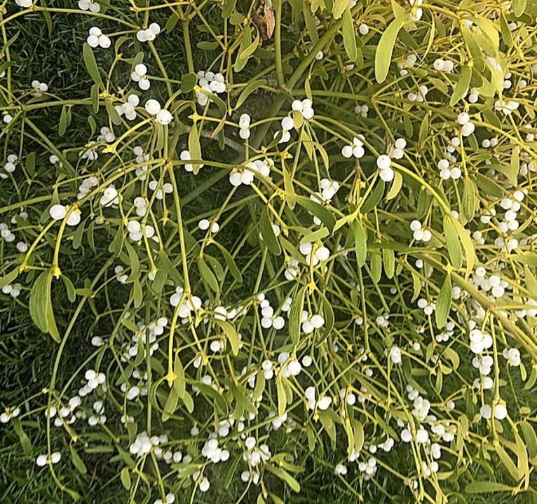 Weiße, klebrige Beeren der Mistel  | Foto: Martin Frenk