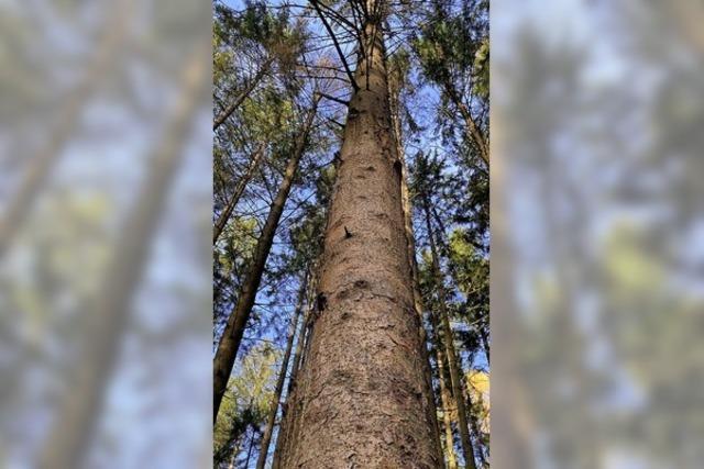 Der Schuttertaler Wald wirft weiter Gewinn ab