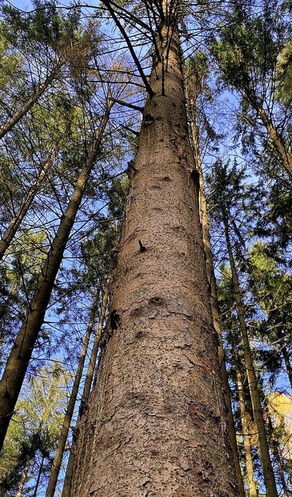 Gute Werte weist der Gemeindewald von Schuttertal aus.  | Foto: Mark Alexander