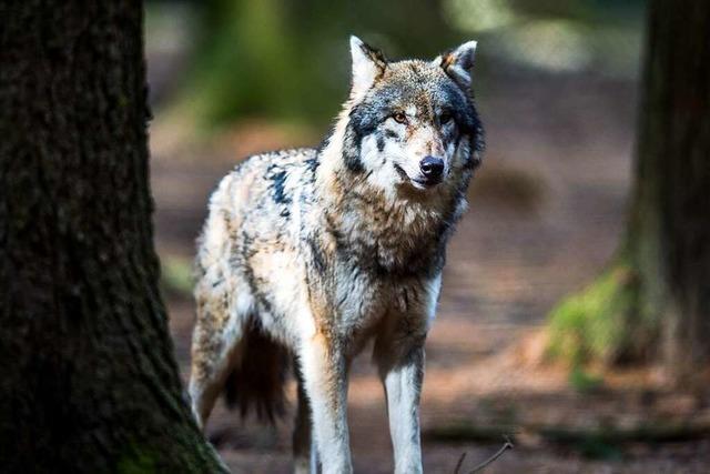 Der Wolf ist in den Schwarzwald zurückgekehrt – welche Folgen hat das?