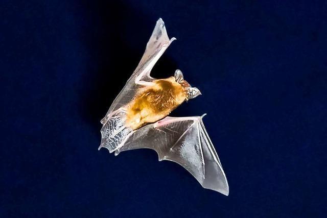 Fledermäuse erschweren die Planung im Gewerbegebiet Untermatten