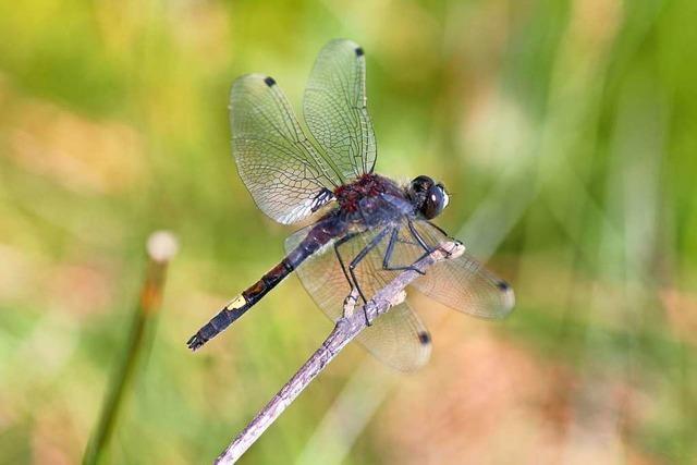 Streng geschützte Libelle bekommt neues Wohnzimmer im Taubergießen