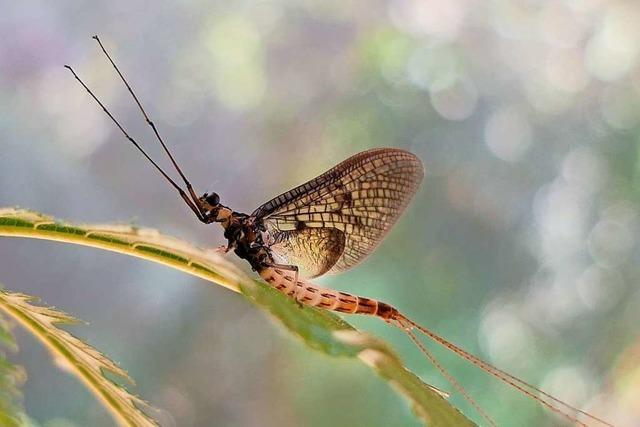 Die Dänische Eintagsfliege ist das Insekt des Jahres 2021