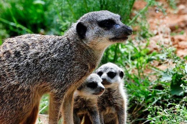 Es gab keinen Nachwuchs: Das letzte Mundenhof-Erdmännchen zieht aus