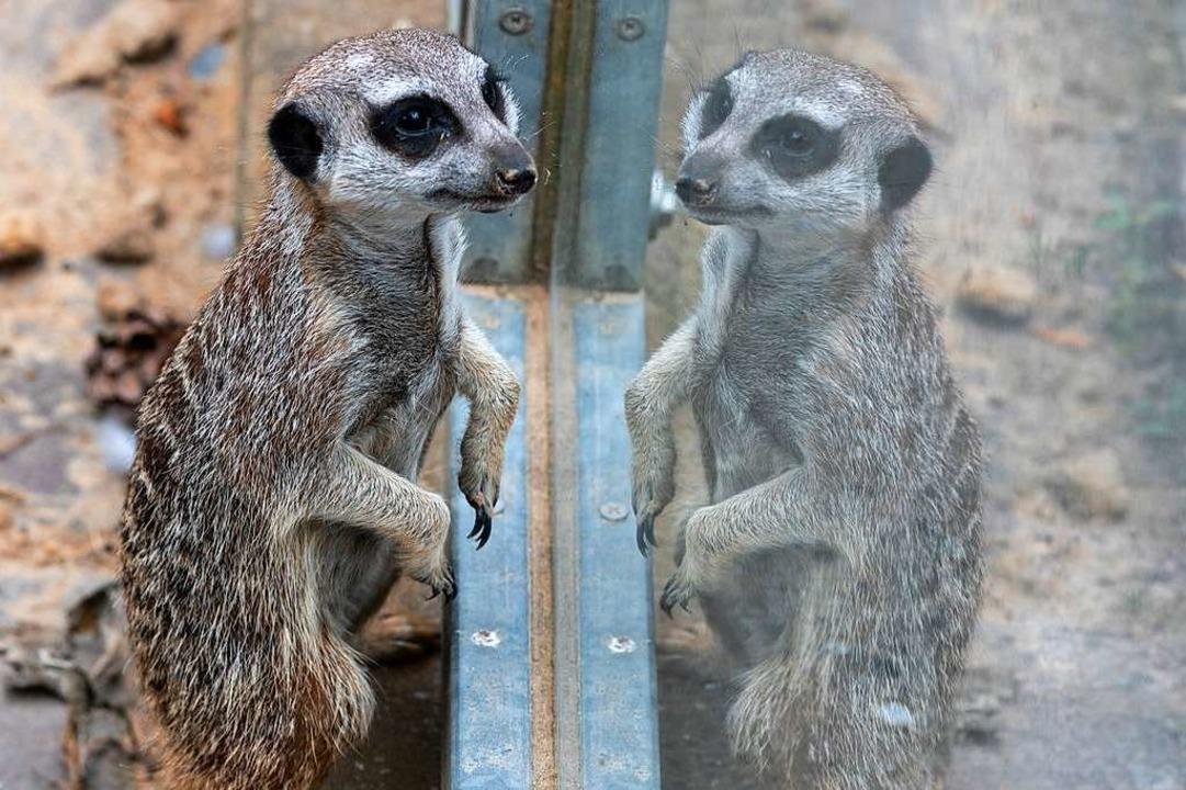 Das eigene Spiegelbild ist kein Ersatz...n einem anderen Tierpark untergebracht  | Foto: Patrick Seeger/Stadt Freiburg