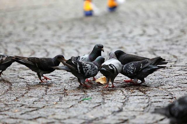 Lahrer Stadtverwaltung ist gegen ein Taubenhaus