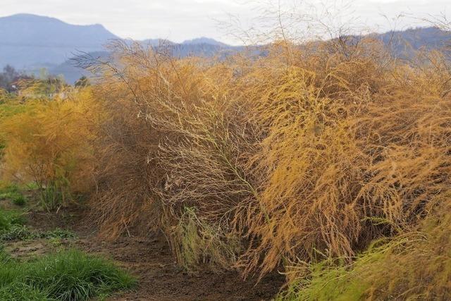 Farbenspiel der Spargelpflanzen