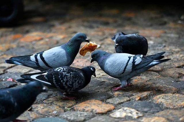 In Lahr soll es nun doch ein Taubenhaus geben
