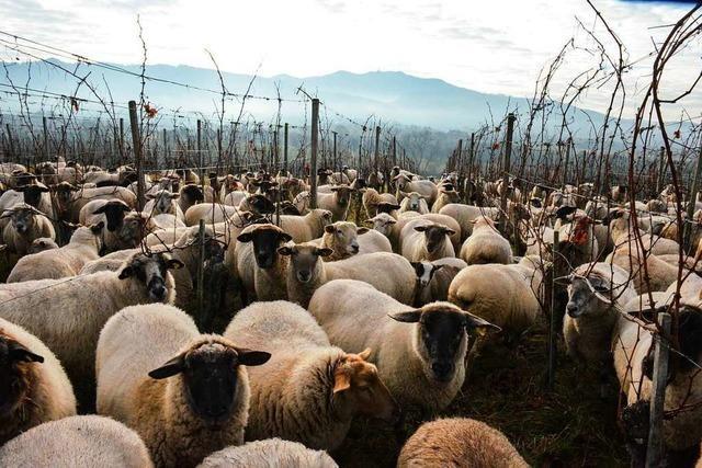 Warum in den Weinbergen zwischen Britzingen und Buggingen zurzeit Schafe weiden