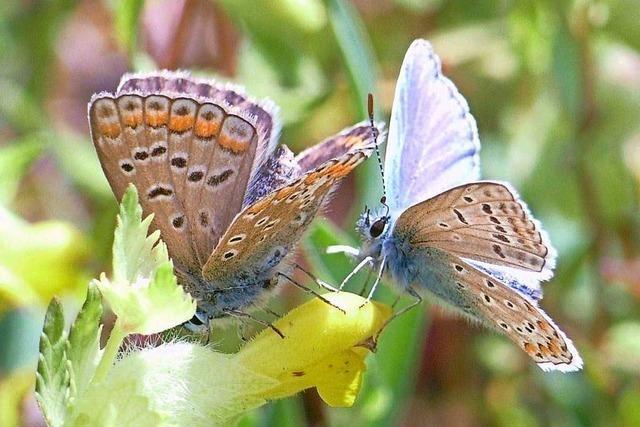 Warum eine Kandernerin Schmetterlinge zählt und Unterstützung sucht