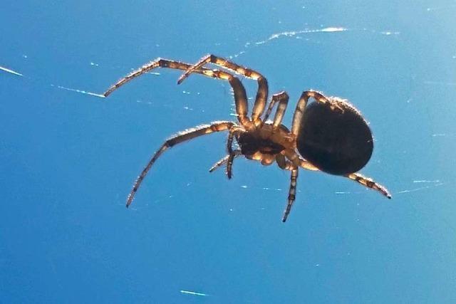 Eine Spinne klettert an einem Wohnzimmerfenster in Karsau entlang