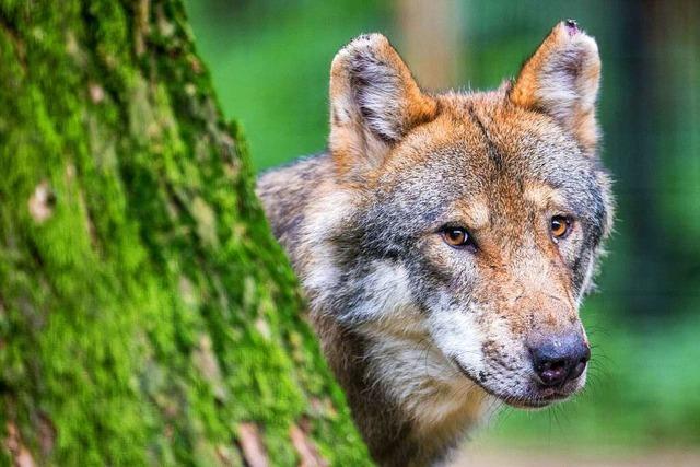 Gen-Analyse: Wolf vor den Toren Freiburgs nachgewiesen