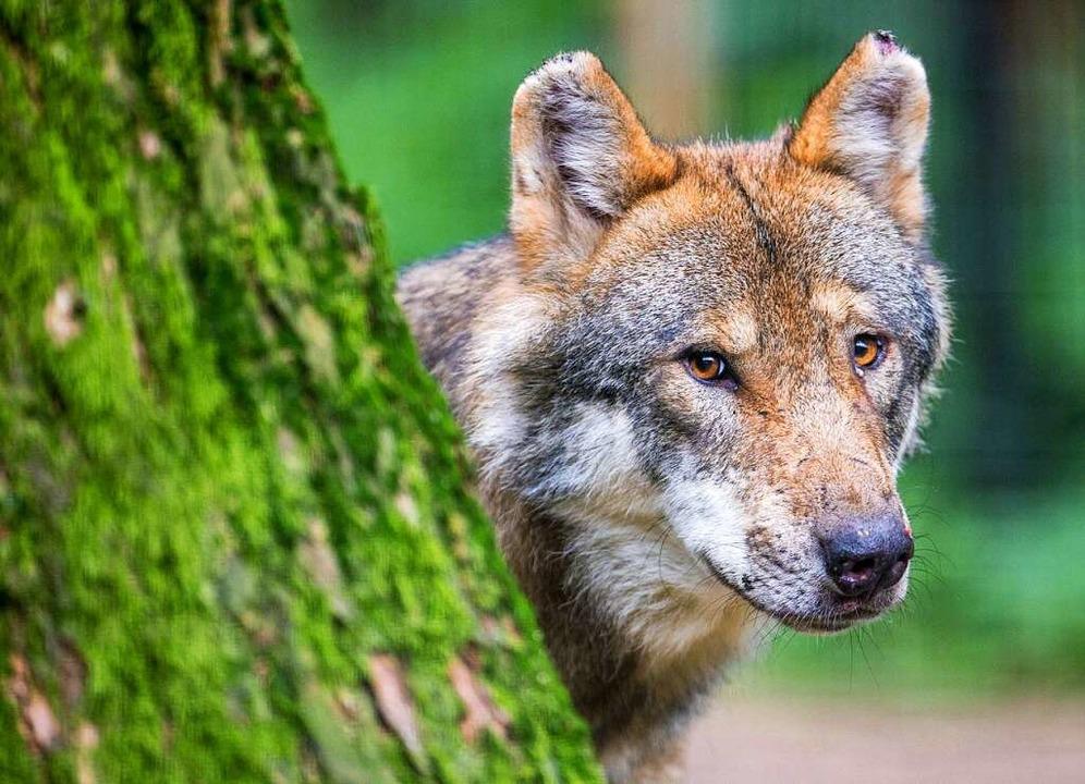 Ein Wolf wurde in Merzhausen nachgewiesen.  | Foto: Lino Mirgeler (dpa)