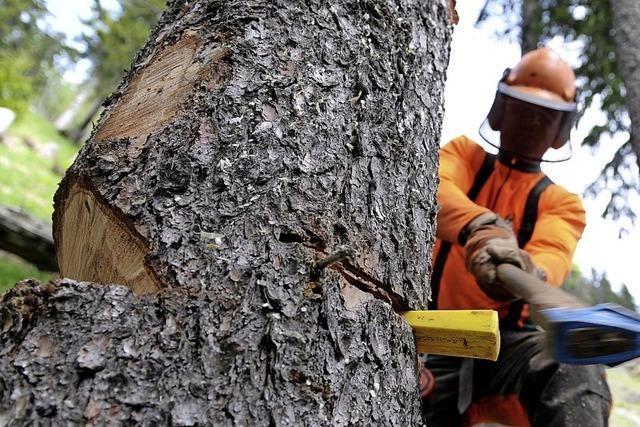Mehrere Bäume werden gefällt