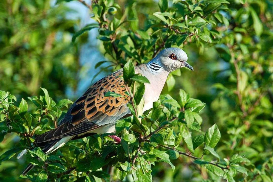 Die Turteltaube ist der Vogel des Jahres 2020.  | Foto: Manfred Delpho (dpa)