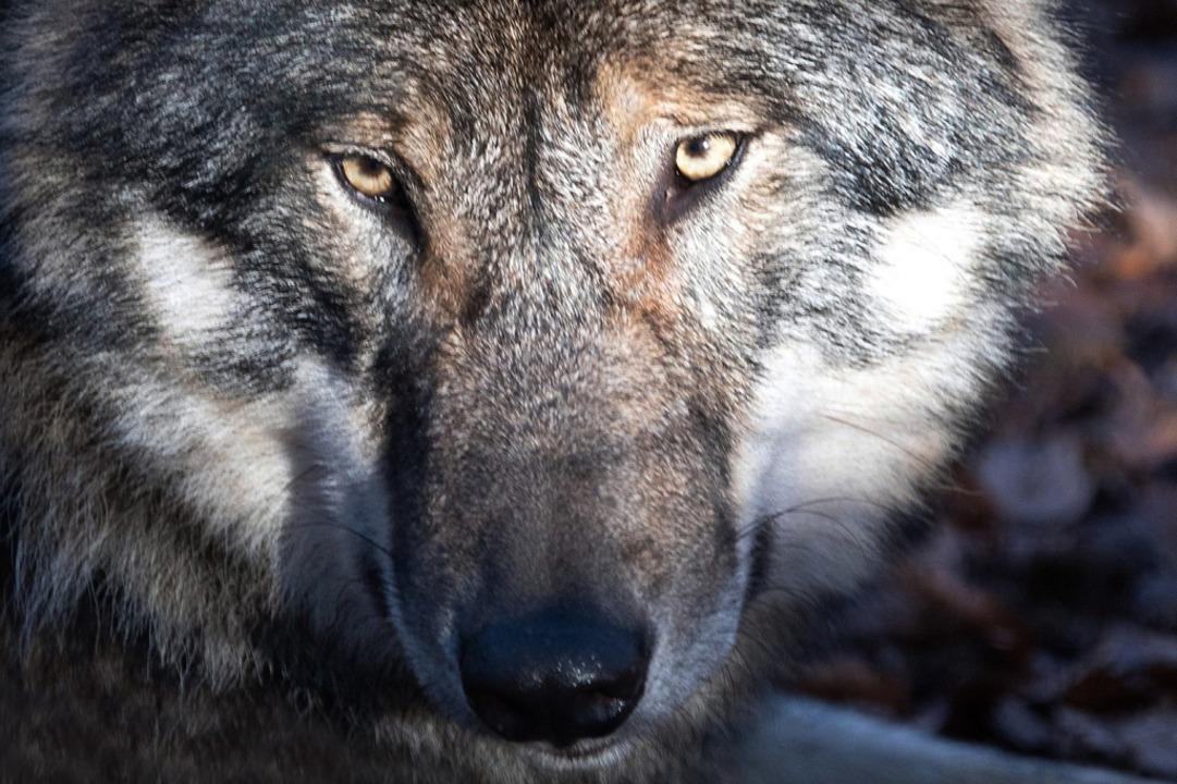 Über den Wolf und dessen Platz in der ...utiert, sagt die Kreisjägermeisterin.   | Foto: Soeren Stache (dpa)