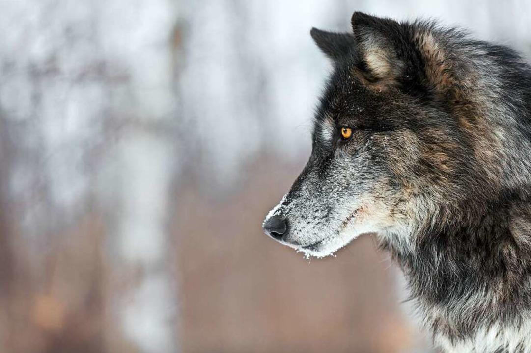 Der Wolf löst Urängste in vielen Menschen aus.    Foto: geoffkuchera  (stock.adobe.com)